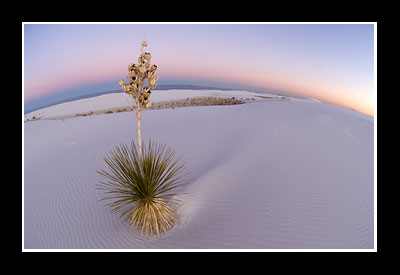 Soaptree Yucca at White Sands National Monument, New Mexico